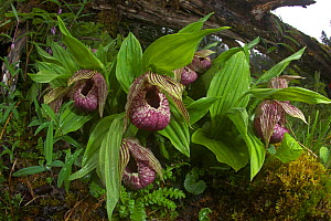 Chinese lady slipper orchid flowers (Cypripedium tibeticum), Mount Namjagbarwa, Yarlung Zangbo Grand Canyon National Park, Tibet, China.  -  Dong Lei