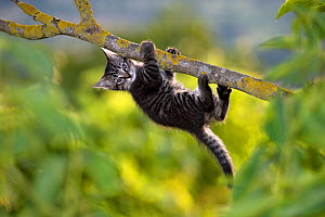 Tabby kitten (age two months) hanging from a branch, France. - Klein & Hubert