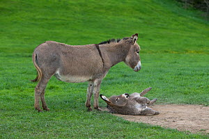 Domestic Cotentin donkey watching her foal rolling in  dust  -  Klein & Hubert
