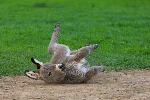 Cotentin donkey foal  dust bathing, France.  -  Klein & Hubert