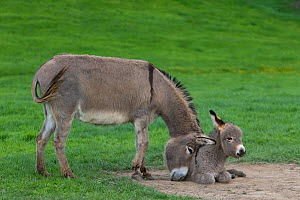 Domestic Cotentin donkey, mother pushing foal into dust bath, France.  -  Klein & Hubert