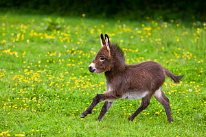 Miniature domestic donkey foal running in field with buttercups, France. - Klein & Hubert