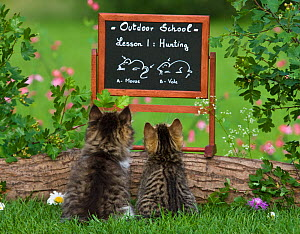 Tabby kittens (age 2 and a half months) looking a blackboard with 'Outdoor School Lesson 1: Hunting' and the with illustrations a mouse and a vole  -  Klein & Hubert