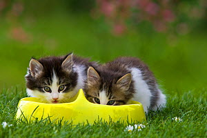Tabby and white kittens eating cat food from bowl outside, France. - Klein & Hubert