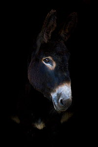 Domestic donkey, peering out door of stable, France. - Klein & Hubert