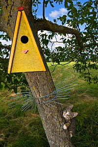 Tabby kitten (age 3 months) climbing tree trying to reach nest box but prevented by wire guard. France. - Klein & Hubert
