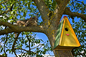 Tabby kitten (age 3 months) climbing tree trying to reach nest box, France. - Klein & Hubert