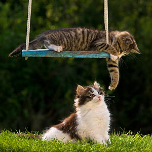 Tabby kitten (age two and a half months) batting white and tabby kitten on the ground, France. - Klein & Hubert