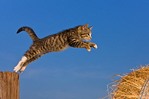 Tabby and white kitten (age two and a half months) jumping on to hay bale, France. - Klein & Hubert