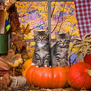 Two tabby kittens (age 6 weeks) sitting in window with pumpkins, and autumnal trees in the background.  -  Klein & Hubert