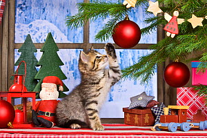 Tabby kitten batting at baubles on Christmas tree surrounded by other festive decorations. - Klein & Hubert