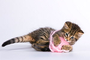Tabby kitten (age 7 weeks) playing with pink ball of wool on white background.  -  Klein & Hubert
