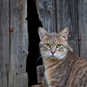 Tabby cat standing in front of old wooden door , Germany. - Klein & Hubert