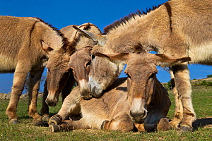 Domestic Provence donkeys dust bathing, France.  -  Klein & Hubert