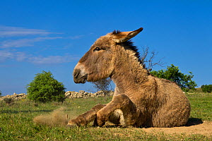 Domestic Provence donkey rolling,  having a dust a bath, France.  -  Klein & Hubert