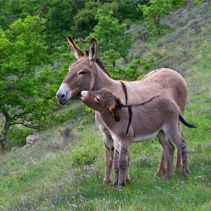 Domestic Provence donkey jenny and foal, France. - Klein & Hubert