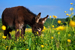 Young domestic Norman donkey in field with buttercups, France. - Klein & Hubert