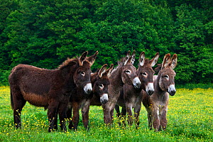 Five domestic Norman donkeys in pasture with buttercups, France. - Klein & Hubert
