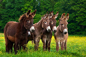 Four domestic Norman donkeys in pasture with buttercups, France. - Klein & Hubert