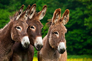 Three domestic Norman donkeys in pasture. France, May. - Klein & Hubert