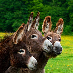 Three Norman domestic donkeys playing in pasture, France. - Klein & Hubert