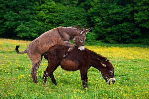 Domestic Norman donkeys pair mating, France. - Klein & Hubert