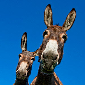 Two Norman domestic donkeys, viewed from below, France. - Klein & Hubert