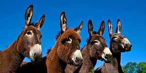 Four Norman domestic donkeys in a line, France. - Klein & Hubert
