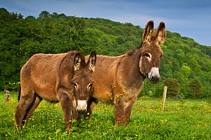 Two young domestic Norman donkeys in field, France. - Klein & Hubert