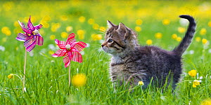 Tabby kitten (age 8 weeks) exploring garden with toy windmills and buttercups, France.  -  Klein & Hubert