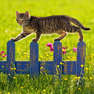 Tabby kitten (age 7 weeks) walking on fence in garden with buttercups, France. - Klein & Hubert