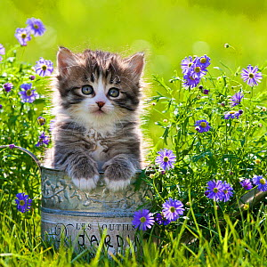 Tabby and white kitten (age 5 weeks) in watering can with purple flowers, France. - Klein & Hubert