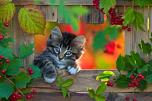 Two month old tabby and white kitten in the opening in a wooden fence with berries.  -  Klein & Hubert