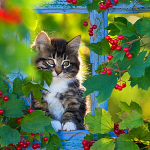 Tabby kitten (age two months) sitting in old window frame with viburnum berries. France.  -  Klein & Hubert