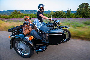 Motorcycle with side car, with Wirehaired dachshund held by rider in side car, Provence, France. - Klein & Hubert