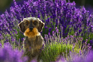 Wire-haired dachshund in lavender field, Provence, France.  -  Klein & Hubert