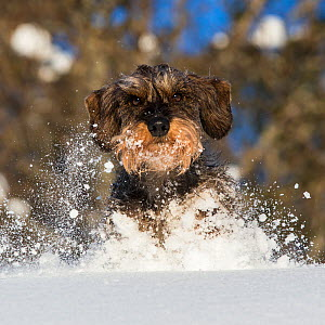 Wirehaired Dachshund running in snow in French Alps, Haute-Savoie, France.  -  Klein & Hubert