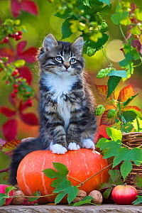 Tabby and white kitten (age two months) sitting on pumpkin, France.  -  Klein & Hubert