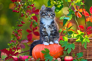 Tabby and white kitten (age two months) sitting on a pumpkin, France.  -  Klein & Hubert