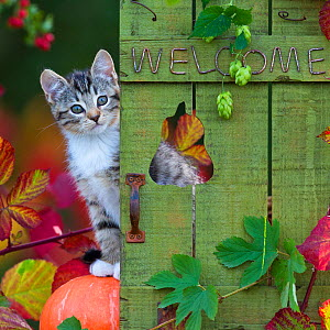 Tabby and white kitten (age 2 months) peering round door with the sign 'welcome', France.  -  Klein & Hubert