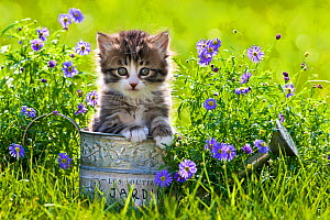 Tabby and white kitten (age 5 weeks) in watering can in garden, France. - Klein & Hubert