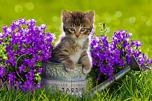 Tabby and white kitten in watering can with Campanula flowers, France. - Klein & Hubert