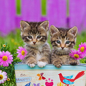 Two tabby kittens, (age 6 weeks) in box with the text 'be happy' with Paris daisies.  -  Klein & Hubert