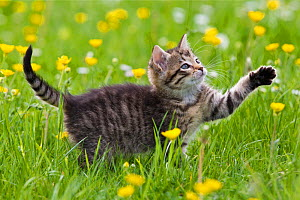 Tabby kitten (age 7 weeks) batting paw, in garden with buttercups, France.  -  Klein & Hubert
