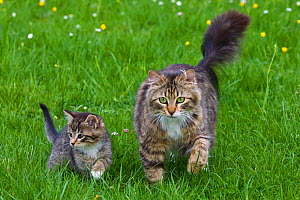 Female tabby and white cat walking with 7 weeks old kitten in garden - Klein & Hubert