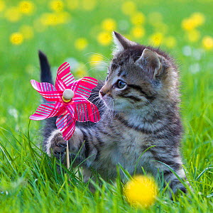 Tabby kitten (age two months) playing with toy windmill in garden. France. - Klein & Hubert