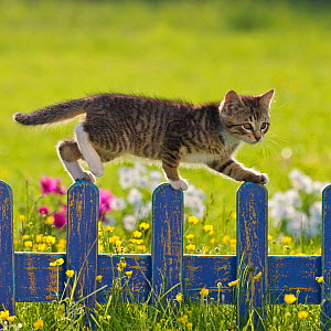 Tabby and white kitten (age 2 and a half months) on blue fence in garden, France.  -  Klein & Hubert
