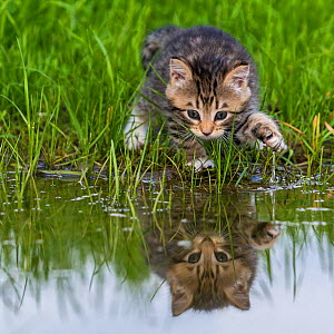 Tabby and white kitten (age 5 weeks) looking at its own reflection in pond, France. - Klein & Hubert