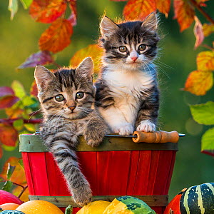 Two kittens (7 weeks old) in a wooden bucket and pumpkins, France  -  Klein & Hubert