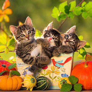 Three kittens (7 weeks) in a box with the text 'Be Happy' with various small squashes. France.  -  Klein & Hubert